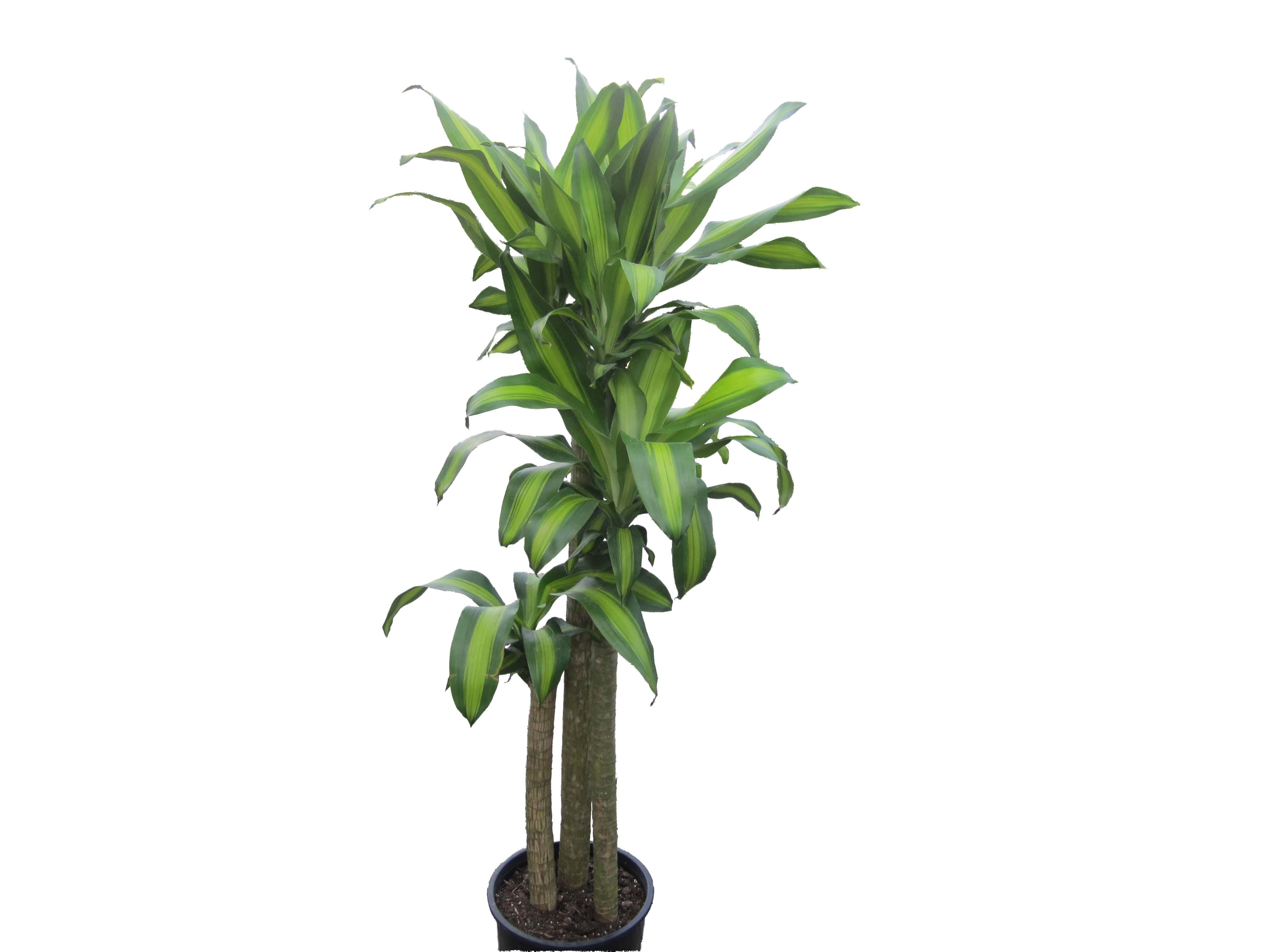 Dracaena fragrans 'Massangeana' (corn plant) is a popular interior plant,  so-called for the shape of its leaves and the yellowish green stripe along  the ...